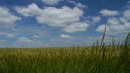 Stock Video Footage of Wheat in summer breeze