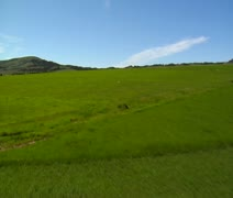 Coyote runs across green fields- zoom Stock Footage