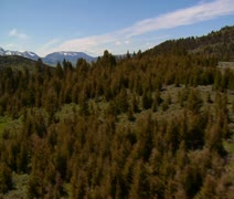 Aerial shot of diseased pine trees and healthy forest - stock footage