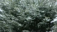 Stock Video Footage of winter evergreen