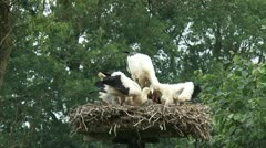 White Stork feeds offspring in nest Stock Footage