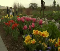 ladies admire tulips in Park - stock footage