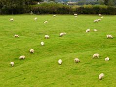 Sheeps on pasture Stock Photos