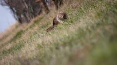 Bird of prey eating Stock Footage