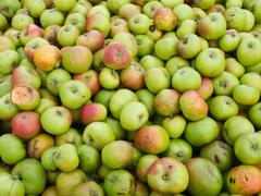 Wind-fall damaged apples - stock photo