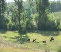 Horses graze in a peaceful sunlit pasture Stock Footage