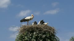 Bill clattering white storks with offspring on nest + flies off Stock Footage