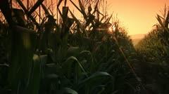 Corn farm. Stock Footage