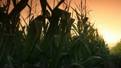 Corn farm. - stock footage