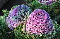 Brassica oleracea linn. Stock Photos