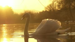 SLOW MOTION: swan swimming - stock footage