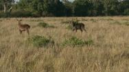 CHEETAH AND BUSHBUCK Stock Footage