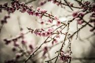 Peach blossom in snow Stock Photos