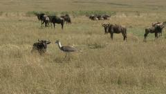 CORY BASTARD IN WILDEBEEST HERD Stock Footage