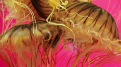 Stock Video Footage of Japanese Sea Nettle Jellyfish Tentacle Mass