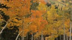 Yellow aspens  blow in breeze Stock Footage