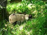 Black and white sheeps in garden Stock Photos