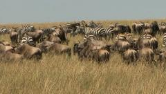 ZEBRA AND WILDEBEEST IN SUN Stock Footage