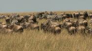 ZEBRA AND WILDEBEEST IN SUN Stock Footage
