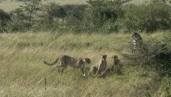 CHEETAHS AFTER FEMALE Stock Footage