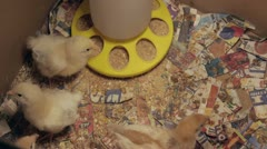 Baby chickens Stock Footage