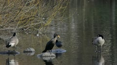 Cormorant and Canada Geese Stock Footage