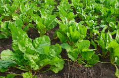 Field with sugar-beet Stock Photos