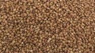 Buckwheat zoom in 2 Stock Footage