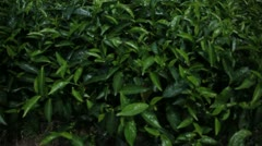 Close up of Tea from Rwanda Stock Footage
