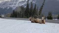 Bighorn Sheep and Highway Stock Footage
