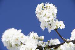 Apple Blossom Against Blu Sky - stock photo