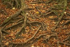 Tree Roots Protruding Through Autumn Leaves - stock photo