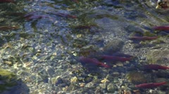 Duck Swimming With Salmon - stock footage