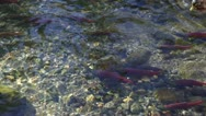 Stock Video Footage of Duck Swimming With Salmon