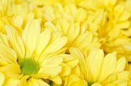 Stock Photo of chrysanthemums