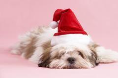 Lhasa Apso Dog Wearing Santa Hat - stock photo
