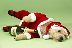 Samll Dog In Santa Costume Lying Down With Champagne Bottle - stock photo