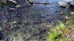 Salmon Swimming Up Stream - stock footage