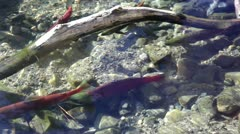 Salmon and Trout In Creek - stock footage