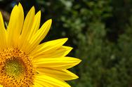 Stock Photo of sunflower background
