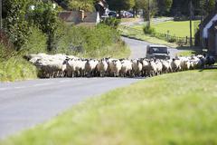 Driving Sheep Along Country Road Stock Photos