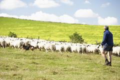 Two Farm Workers With Flock Of Sheep - stock photo