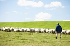 Farm Worker With Flock Of Sheep - stock photo