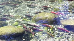 Swimming Salmon In The Creek - stock footage