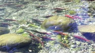 Stock Video Footage of Swimming Salmon In The Creek
