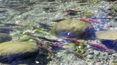 Salmon Swimming Up A Shallow Creek - stock footage
