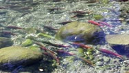 Salmon Swimming Up A Shallow Creek Stock Footage