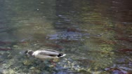 Stock Video Footage of Duck Swimming In Stream With Salmon Spawning