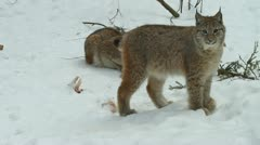 Lynx, wildcats Stock Footage