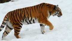 Amur (Siberian) tiger Stock Footage